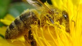 pollination_bee_dandelion