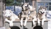 Huskies-Dogs-Cage-Pack