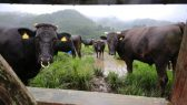 japan-fukushima-cows (2)