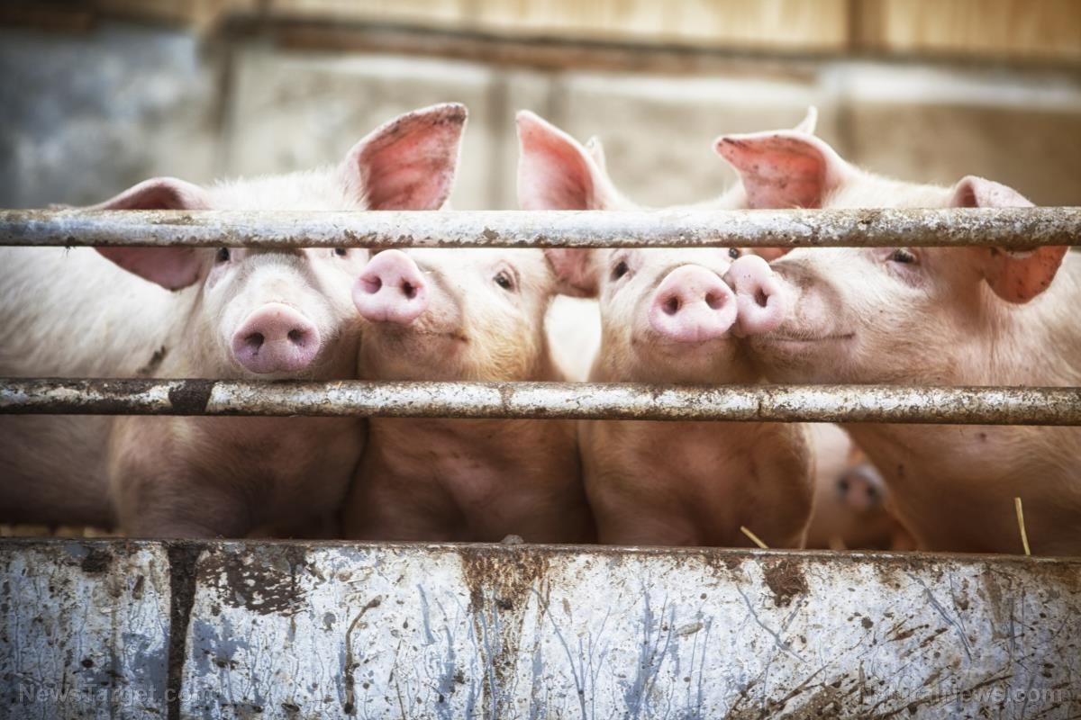 Image: Smithfield Foods to sell pig parts for human skin and organ transplants
