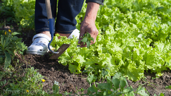 Fast-growing vegetables to plant in your home garden during the coronavirus pandemic